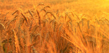 Wheat field in rays of rising sun photo