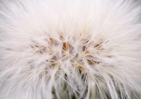 Dandelion Blossom Closeup