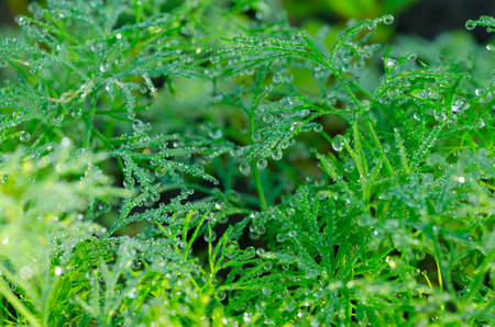 Wet Dill Closeup with Drops of Dew