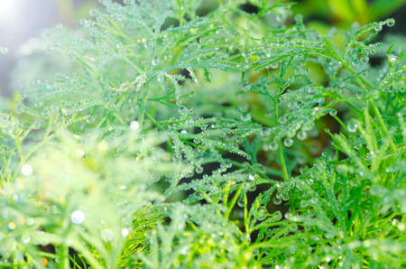 Wet Dill Closeup with Drops of Dew photo