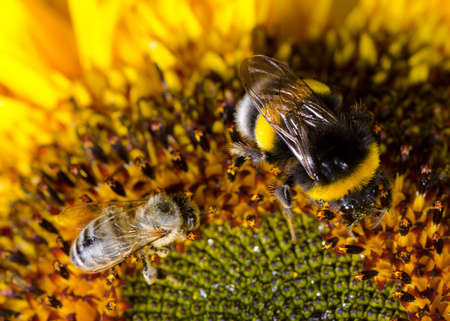 Bumblebee on a Sunflower,  Close-up Stock Photo