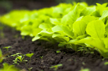 Young Green  Lettuce Salad in Greenhouse Stock Photo