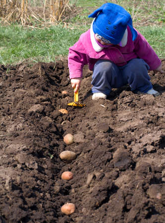 Cute Little Girl Sowing  Potato in a Row, Seeding Process  photo