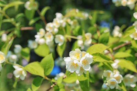 jasmine bush: daisy and jasmine bush in summer day
