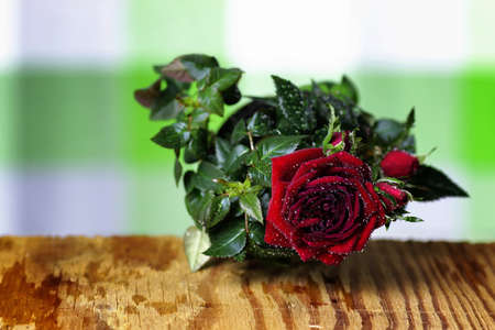 cute little shrub rose in a tiny pot gift for holiday Stock Photo