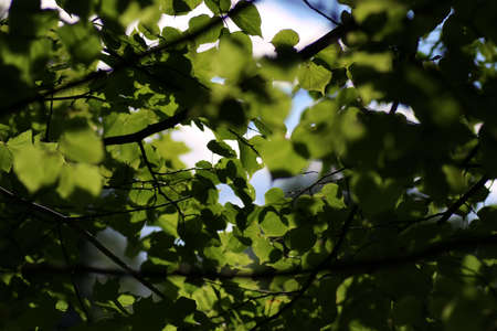 tilia cordata: background from the leaves of linden tree at sunset on a summer evening