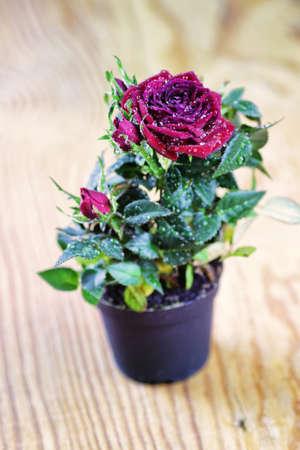 fresh pot: rose fresh pot macro