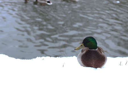 drakes: ducks and drakes swim in cold water in winter in a park
