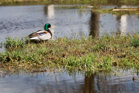 color image mallard duck: various objects of the spring season in the best of this wonderful period Stock Photo