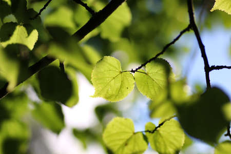 tilia cordata: various objects of the summer season in the best of this wonderful period Stock Photo