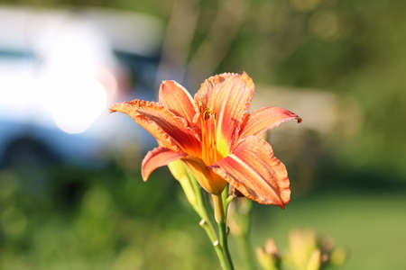stargazer lily: various objects of the summer season in the best of this wonderful period Stock Photo