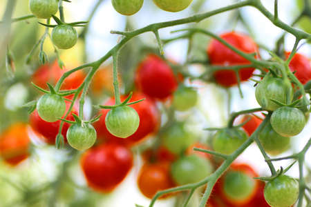 tomato on branch crop Stock Photo