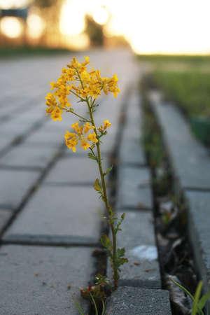 light slate gray: flower growing through the paving stone at sunset