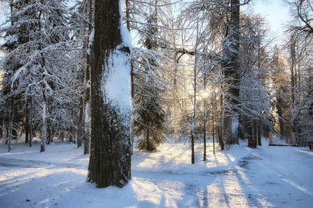 winter forest landscape sunlight snow