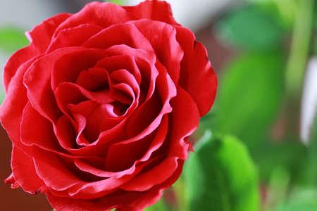 red rose bud closeup