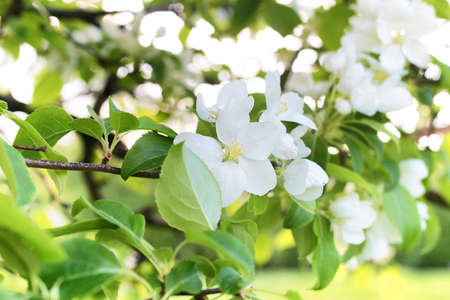 crab apple tree: Early spring flowering apple tree with bright white flowers Stock Photo