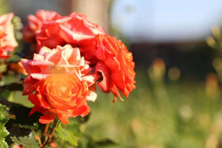 flower liliac petal