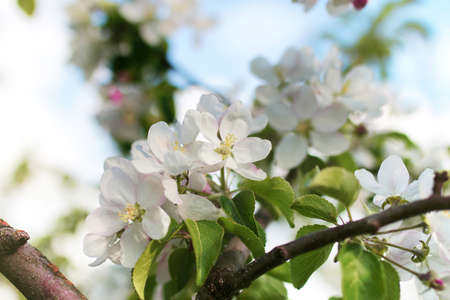 crab apple tree: early spring flowering apple tree with bright white flowers