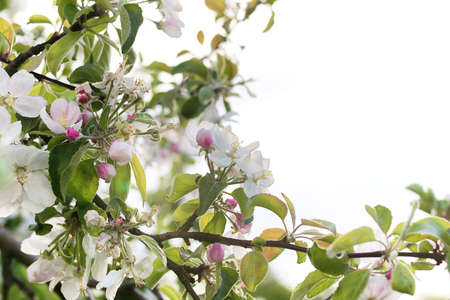 crab apple tree: early spring the flowering apple tree with bright white flowers