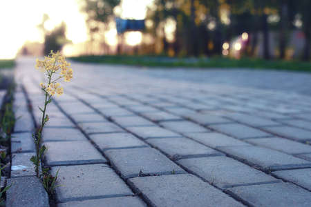 empedrado: small flower growing through the gray paving stone at sunset