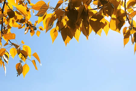 Yellow autumn leaves of trees on a clear blue sky Stock Photo