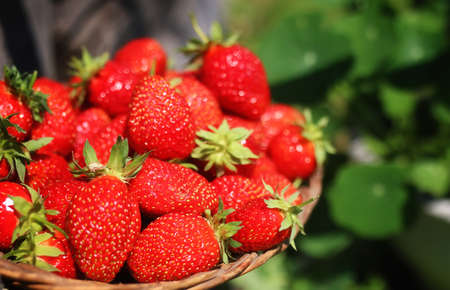 delicious fresh ripe and fragrant strawberries in a basket of wicker Sprig