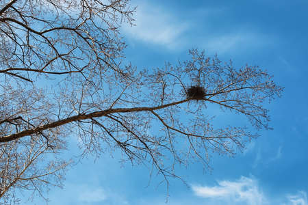 Image result for single crows nest in bare branches