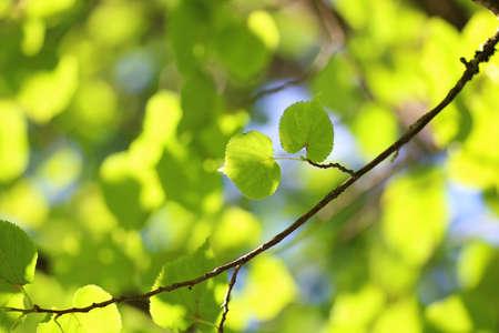 tilia cordata: leaf tree background backlight sunlight