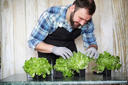 A bearded man takes care of the lettuce grown in the pots at home