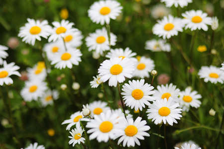 Summer field of white camomiles on the nature of the countryside  Stock Photo