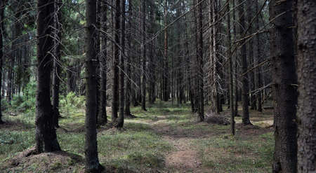 Pine forest. Depths of a forest. Journey through forest paths. T Stock Photo