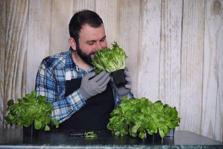 farmer grows fresh lettuce leaves for the preparation of tasty d
