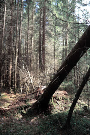 Pine forest. Depths of a forest. Journey through forest paths. T Stok Fotoğraf