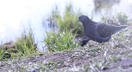 Pigeon on the shore of the pond. A gray bird by the river. The d Stock Photo
