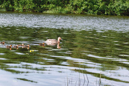 Birds on the pond. A flock of ducks and pigeons by the water. Migratory birds by lake.  Stock Photo