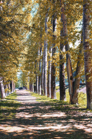 Alley poplars with yellowing leaves in late summer