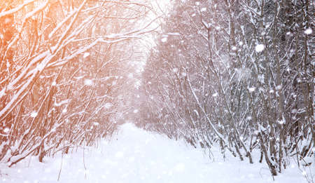 Winter landscape snow covered expanses. A park in the winter in Stock Photo