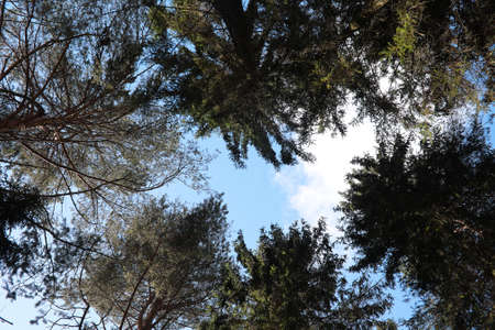 The tops of evergreen trees against the blue sky. 写真素材 - 129471273