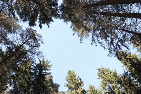 The tops of evergreen trees against the blue sky.