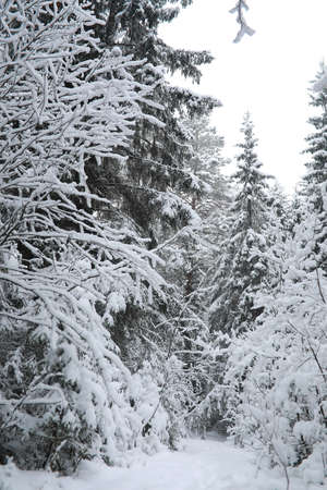 Winter landscape. Forest under the snow. Winter Park. Stockfoto