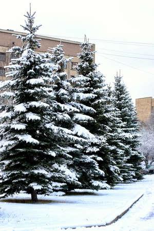 winter fir tree snow sunlight Reklamní fotografie