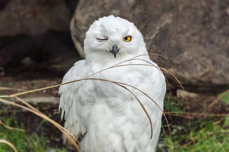 snowy owl: Snowy owl