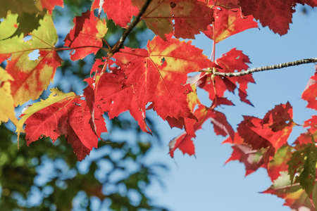 Red maple leaves on blue sky background. Symbol of autumn Фото со стока