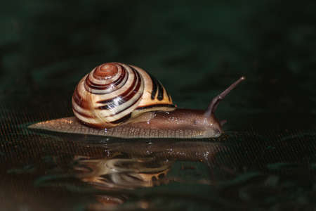 Snail on a black background Stock Photo
