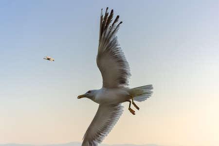 Gull over the sea, the Black Sea in Nessebar, Bulgaria