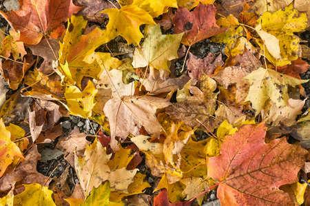 autumn leaves, Canada