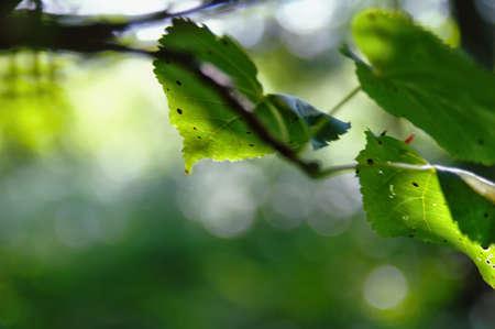 hazel green leaves lit by the sun