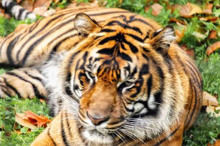 Bengal tiger Фото со стока