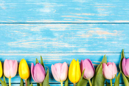 View of line of pink and yellow tulips on a blue wooden background.