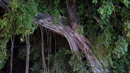 tropical tree twined liana, huge ficus, night time
